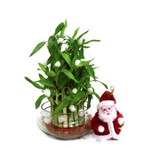 Lucky Bamboo N Santa