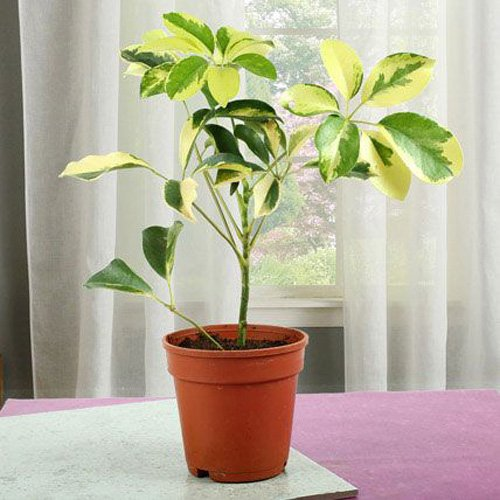 Elegant Schefflera Plant