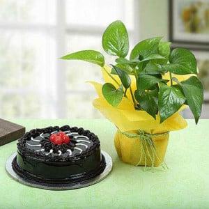 Truffle Cake N Money Plant