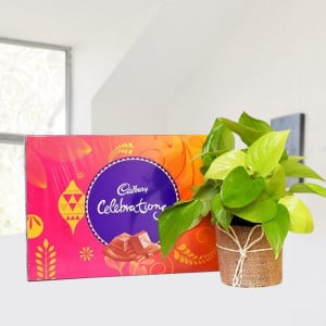 Money Plant with Cadbury Celebration
